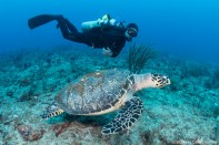 The hawksbill swims with Laz Ruda