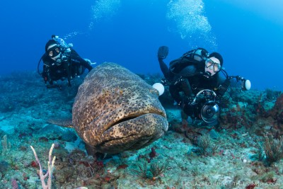 Goliath grouper and divers