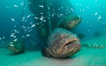 Our goliath groupers are quite inquisitive.