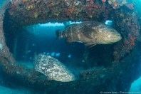 Two goliath groupers swim out of the Mizpah wreck