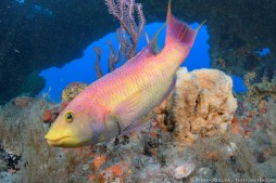 Charlie the Spanish hogfish