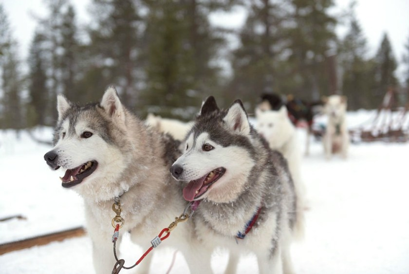 husky sledging in Tromso, Norway