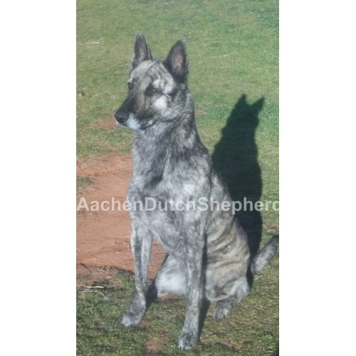 Sweet Dutch Shepherd Puppies Sale Aachen Dutch Shepherds Craigslist