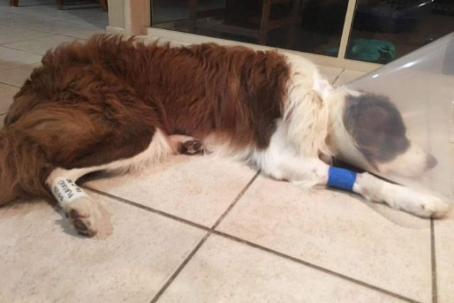 A border collie with a cone around his head and a scar on his stomach