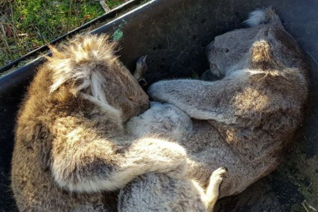 Two dead koalas in a wheelbarrow