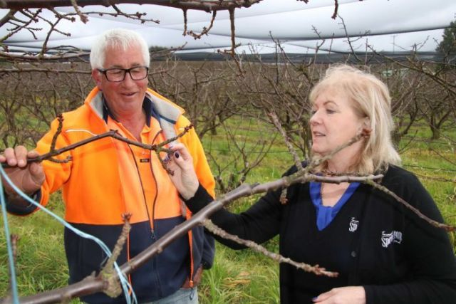 Warren Viney and Michelle Distill inspecting the cherry orchard at Spreyton Fresh
