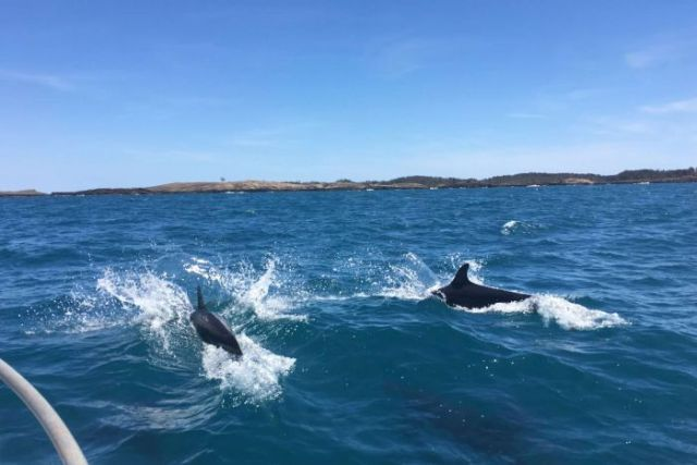 Two False Killer Whales off Groote Eyelandt.