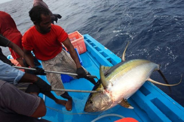 A fisherman hauls a tuna fish on board a boat.