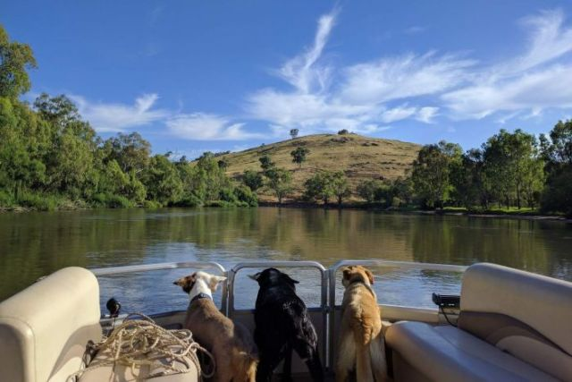 Three dogs looking out the back of a boat and onto the Murray River.