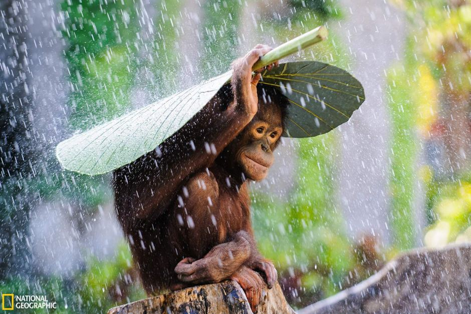 Image result for Orangutan in The Rain