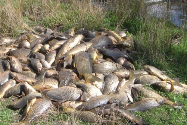 Pile of carp taken from carp cage from Murray-Darling Basin