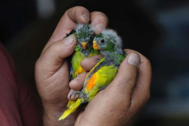 Baby orange-bellied parrots held in a man's hand.