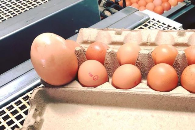 A massive egg bulging from an egg carton alongside much smaller eggs