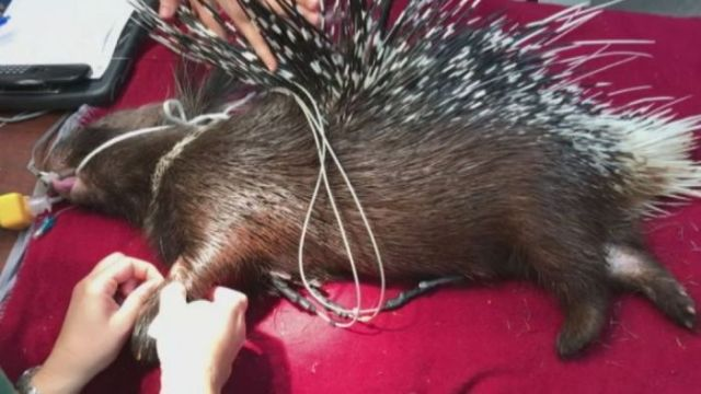 Perth Zoo's new porcupine gets a health check