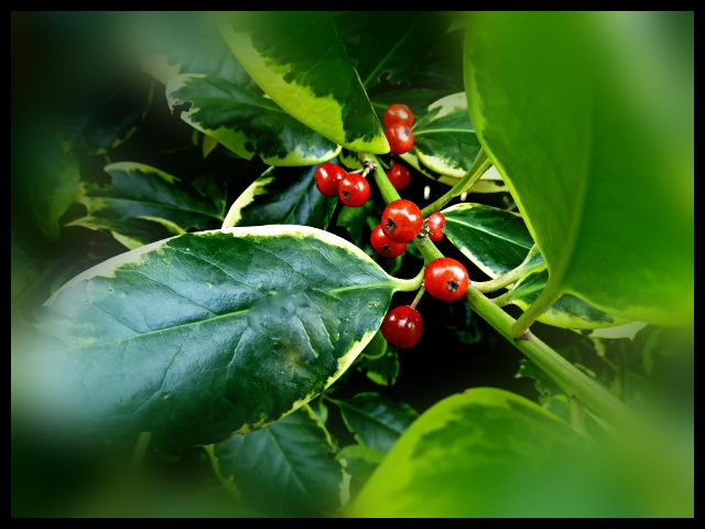 Holly Golden King Berries