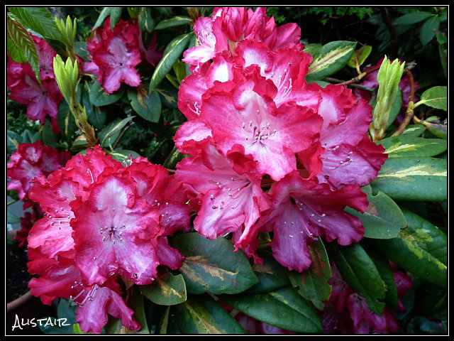 Rhododendron President Roosevelt 02