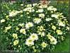 leucanthemum goldrush (21)
