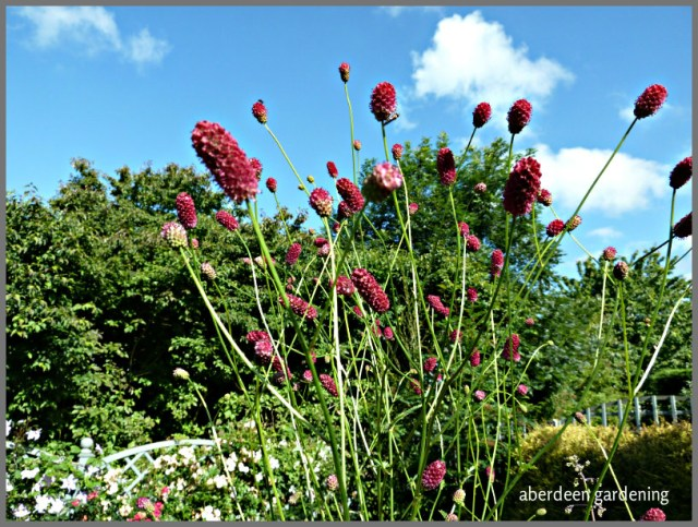 Sanguisorba officinalis 'Arnhem' (10)