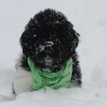 Newfoundland Puppy in the snow!