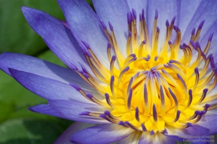 Close Up Of Violet Water Lily w credit 720px
