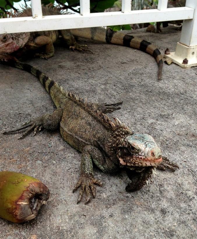 iguana in St. Thomas