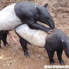 Il pene del tapiro