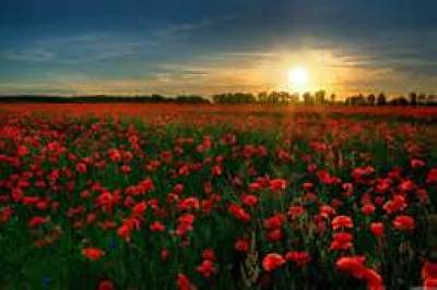 Field of Red Flowers at Sunrise