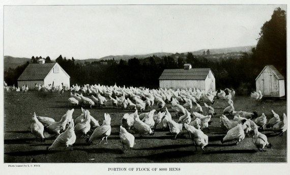 Portion of a Flock of 8000 Hens