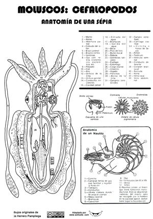 Cefalopodos-sepia2