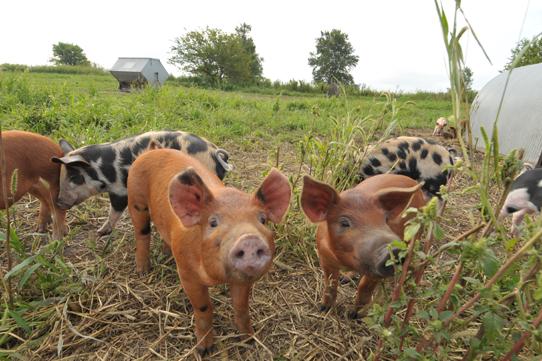 city of alameda meeting on backyard farm animals action