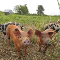 Niman Ranch Hogs