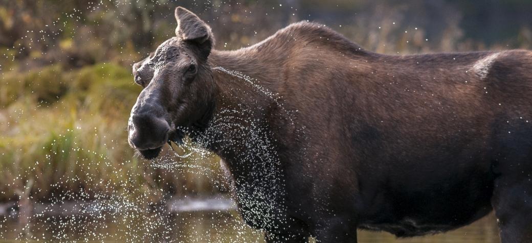 moose_banner_crop