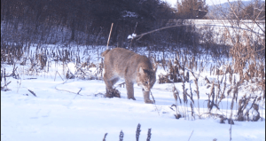 bobcat-close2-745x396