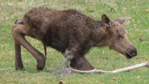 moose_newborn_calf_homer