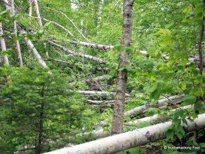 Paper birch blowdown