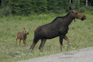 Moose cow and calf photo by the late Dennis Aprill, courtesy Adirondack Moose Festival, Indian Lake.