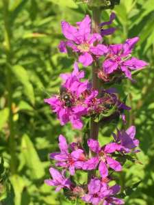 Invasive Purple Loosestrife photo by Nick Rowell