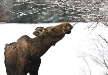 The resurgence of moose demonstrates that the Adirondack Park is not an island. Photo by Nancie Battaglia