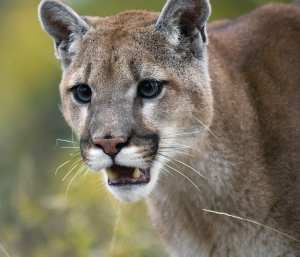 Cougars tend to avoid people. BigStockPhoto.com