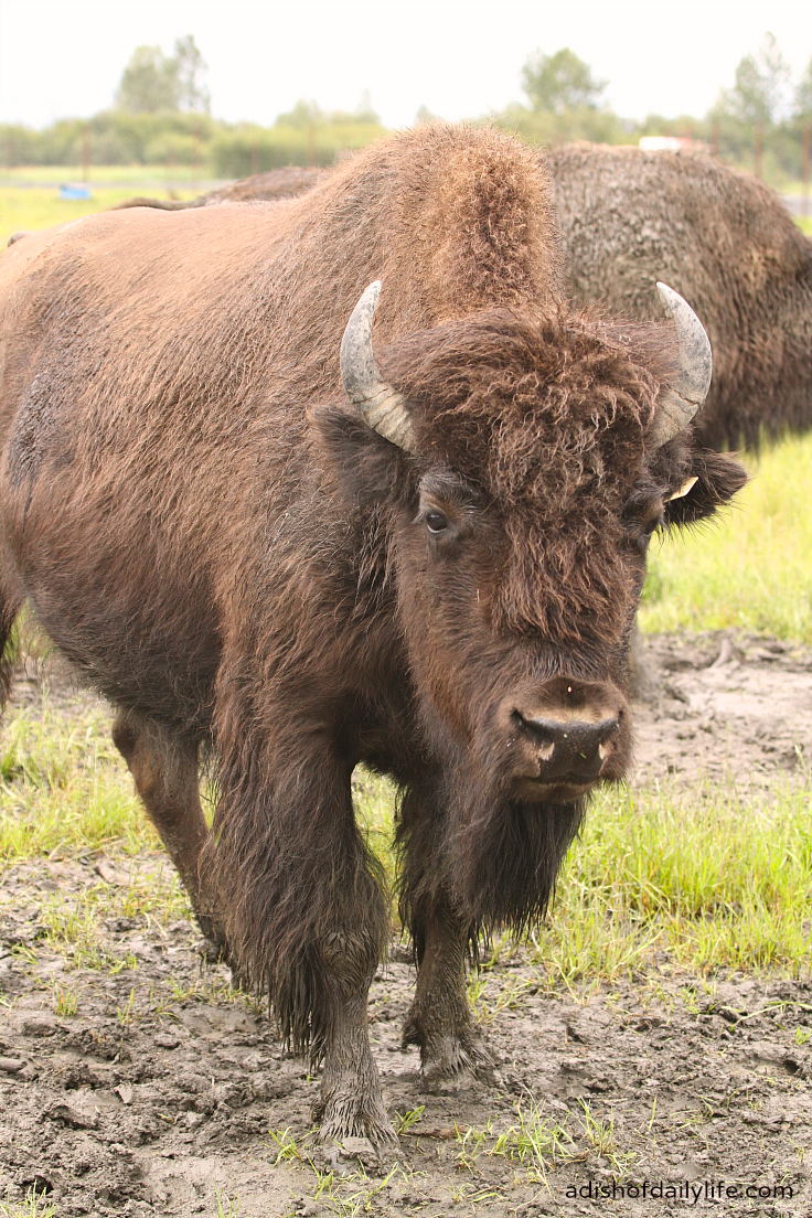AWCC Wood Bison