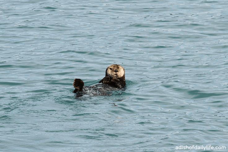 Glacier Cruise sea otter