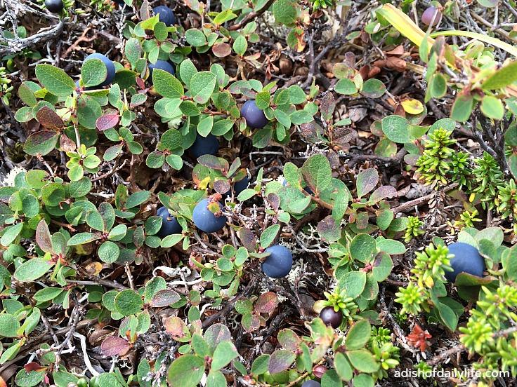 Wild blueberries Arctic Valley hike