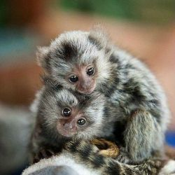 Baby-Pygmy-Marmoset-Pictures4