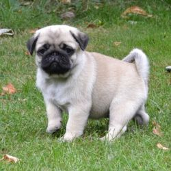 4-lovely-pug-puppies-for-sale-57a9fbf3aec52