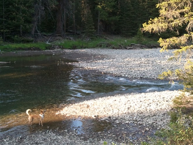 Lupe explores the Clark's Fork of the Yellowstone River in the early morning light.
