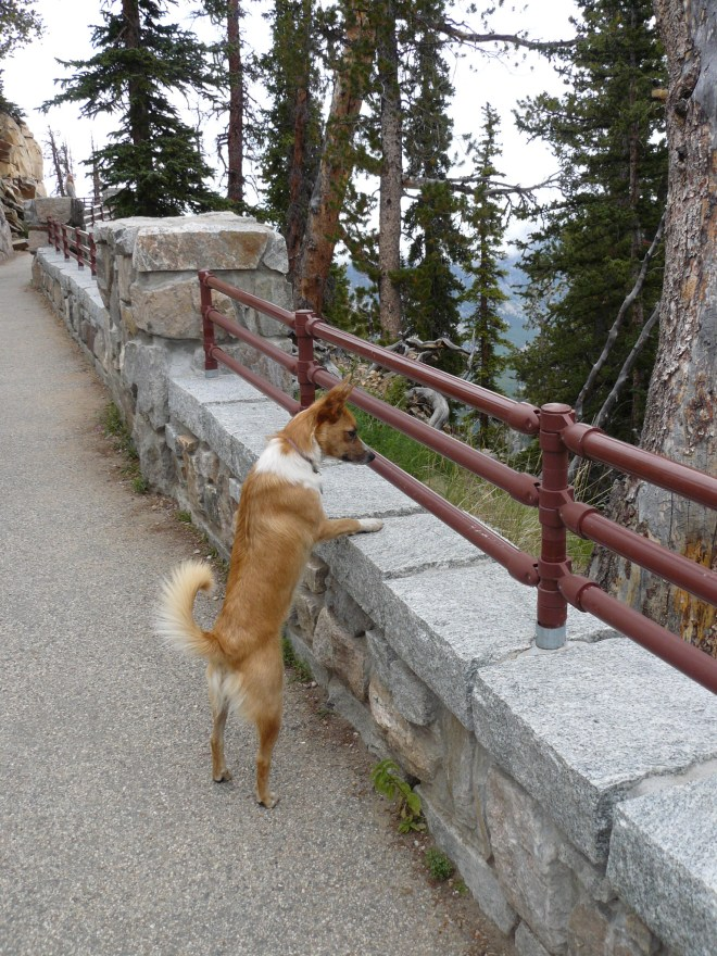 Lupe thought this viewpoint along the Beartooth Hwy, was great fun! She wanted to stay and play Catch-A-Squirrel (the American Dingo version of Whack-A-Mole) all day!