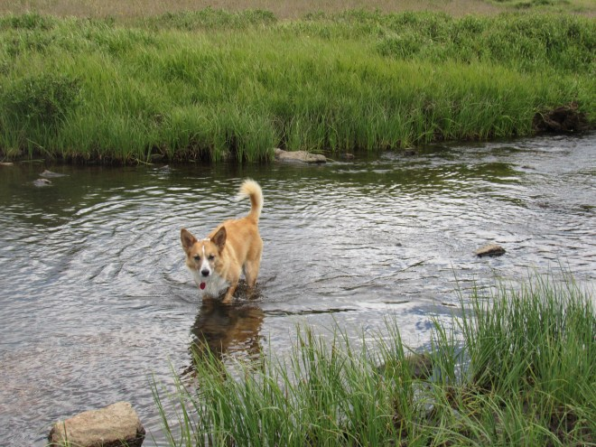 Lupe cools off in the North Fork of the Powder River before setting out for Hazelton Pyramid.