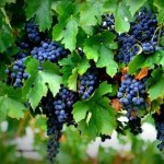 garnasha grapes