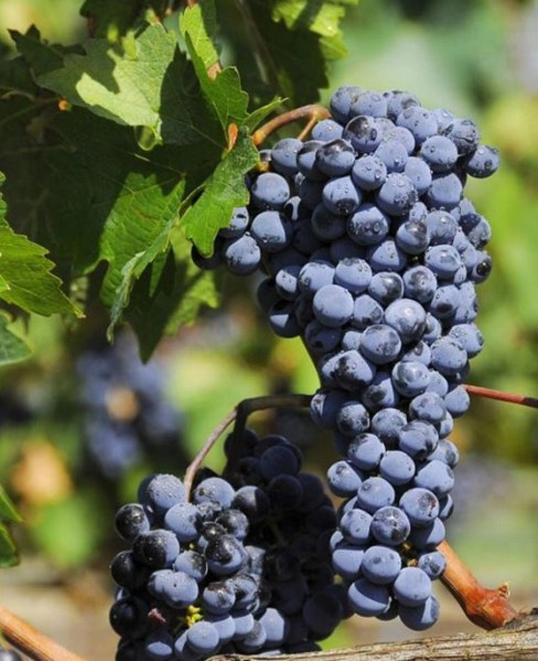 Cool Cabernet: something special from Australia  @WineAustralia, #Wine, #cabernet
