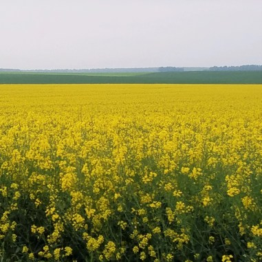 the mustard fields in bloom are everywhere, and spectacular!